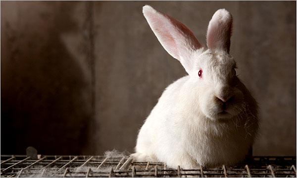 Rabbits White Large